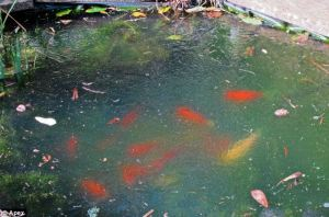 frozen fish pond